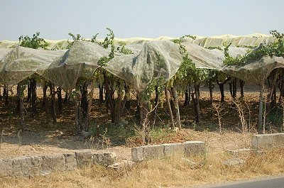 Teelt van tafeldruiven (Apulië, Italië); Cultivation of table-grapes (Apulia, Italy)