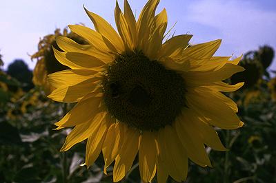 Zonnebloem in Toscane; Sunflower in Tuscany