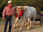 Ossenkar (Toscane, Italië); Ox cart (Tuscany, Italy)