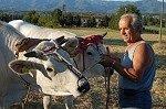 Boer traint runderen (Toscane, Italië); Peasant training oxen (Tuscany, Italy)