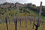 Wijngaard in Asolo (TV, Veneto, Italië); Vineyard in Asolo (TV, Veneto, Italy)